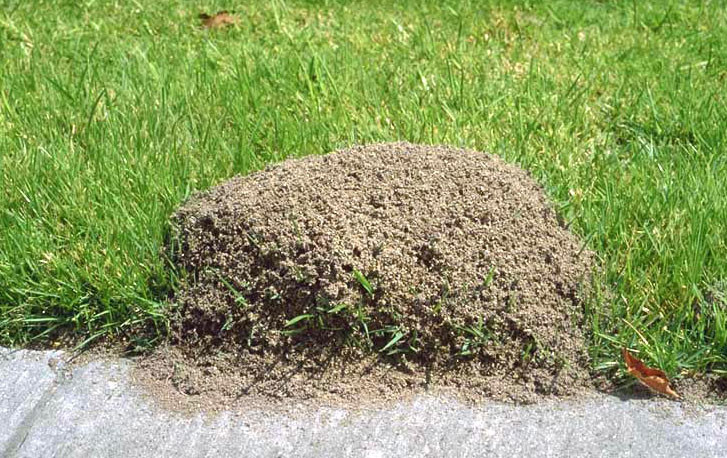 how to kill ants in yard